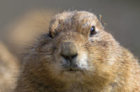 Image of a prairie dog